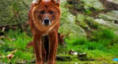 Красный волк. Красная книга (краткое описание)