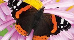 """Сообщение о бабочке """"Адмирал"""". Красная книга (описание бабочки для детей)"""