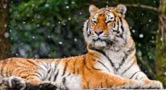 Амурский тигр (доклад для 2 класса)