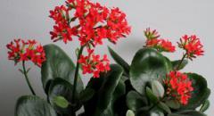 Доклад о комнатном растении. Коланхоэ (для 2 класса)