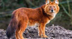 Сообщение о животном из Красной книги. Красный волк (2 класс, окружающий мир)