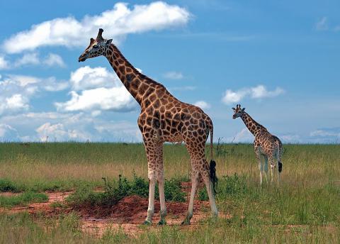 Описание жирафа для детей (доклад)