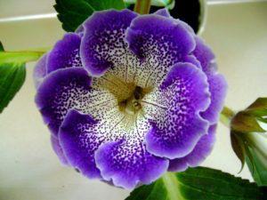 Доклад о комнатном растении. Глоксиния (для 2 класса)