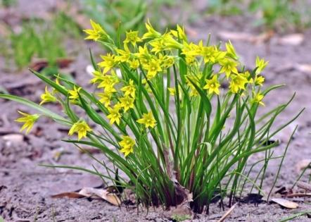 Гусиный лук (описание растения для доклада, 2 класс)