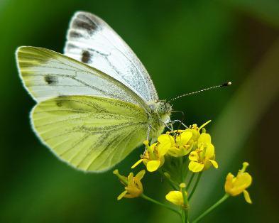"""Бабочка """"Капустница"""" (фото и описание для детей)"""