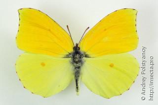 Бабочка-лимонница (описание для детей)