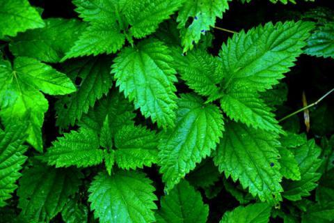 Описание лекарственного растения - КРАПИВА. Для детей 2 класса (окружающий мир)